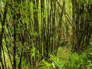 bamboo-forests1
