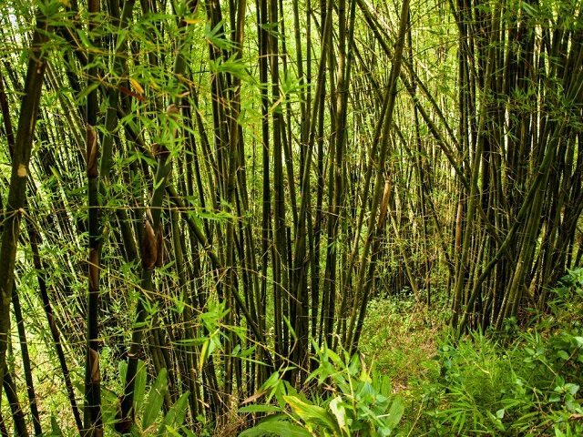 Bamboo And Rattan Are Ful Strategic Forest Resources That Can Bring Jobs Income To Millions Of People In Rural Areas Create New Streams