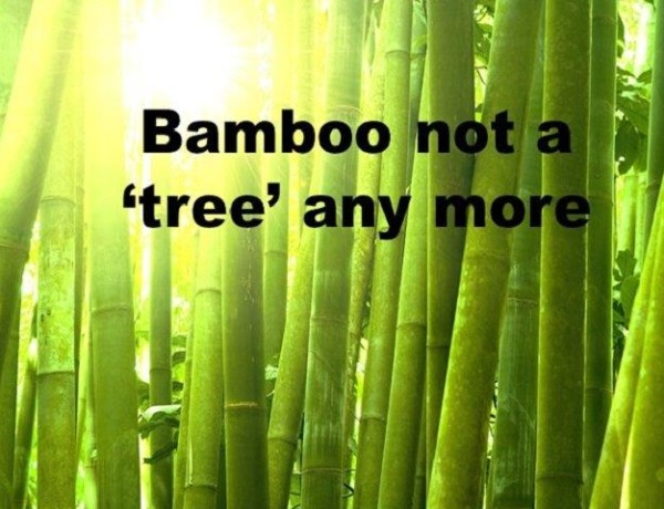 bamboo not a tree